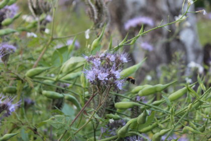 Biene im Wildblumenfeld Neufirrel